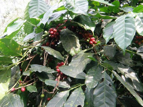Trivandrum day tours coffee plantations