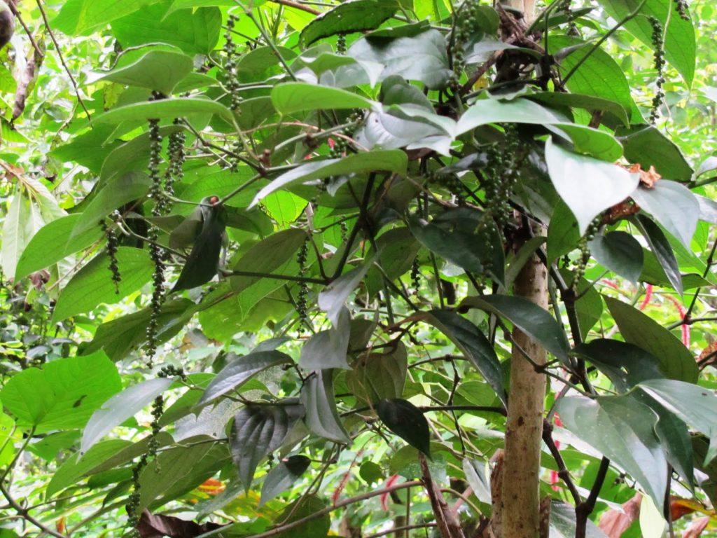 kovalam ponmudi tour spice plantations