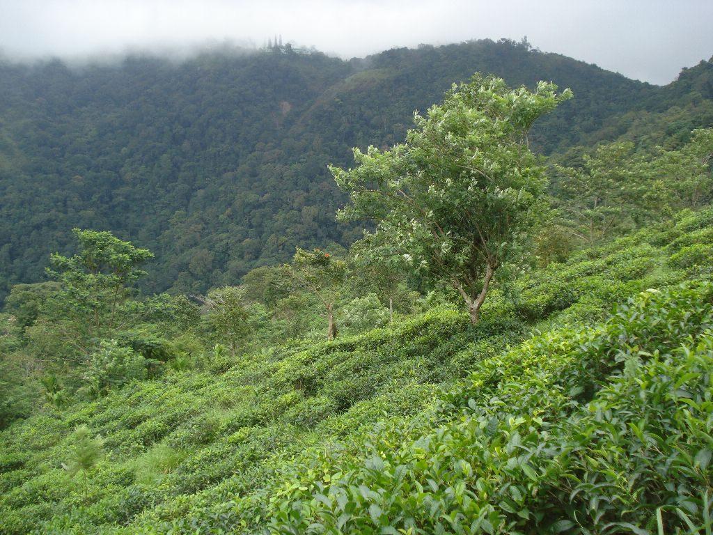 tea plantation ponmudi